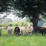 Milchschafhof Diahren, Giselherr Kühn
